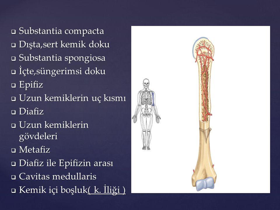 Substantia compacta Dışta,sert kemik doku. Substantia spongiosa. İçte,süngerimsi doku. Epifiz. Uzun kemiklerin uç kısmı.