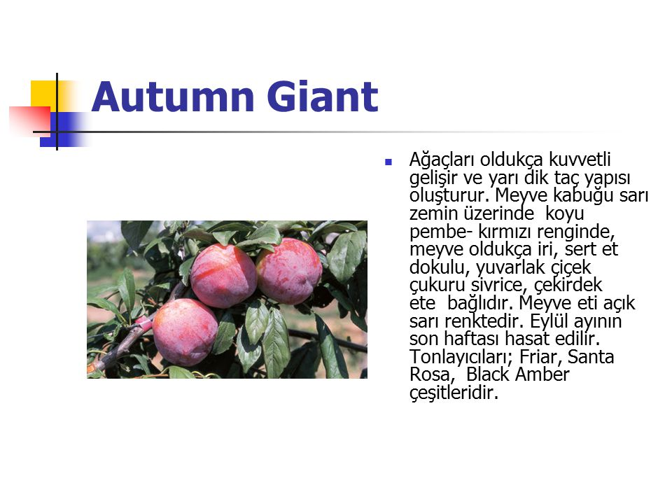 Autumn Giant