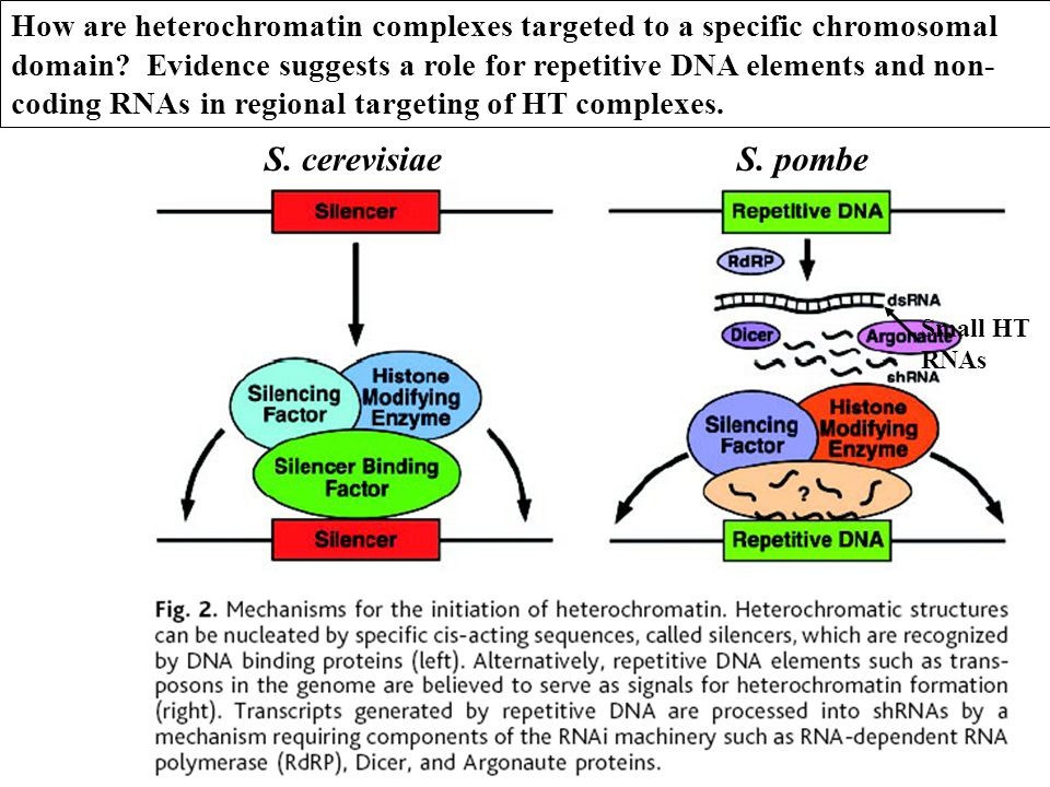 How are heterochromatin complexes targeted to a specific chromosomal domain Evidence suggests a role for repetitive DNA elements and non-coding RNAs in regional targeting of HT complexes.