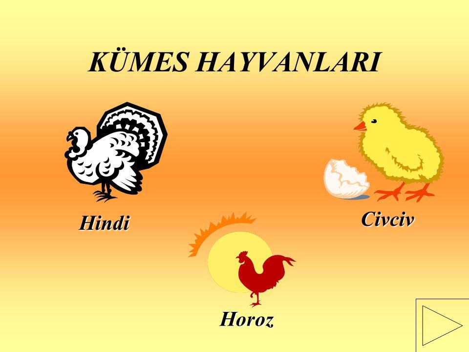 KÜMES HAYVANLARI Civciv Hindi Horoz