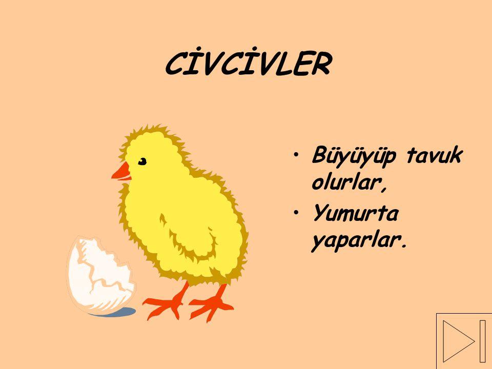 CİVCİVLER Büyüyüp tavuk olurlar, Yumurta yaparlar.