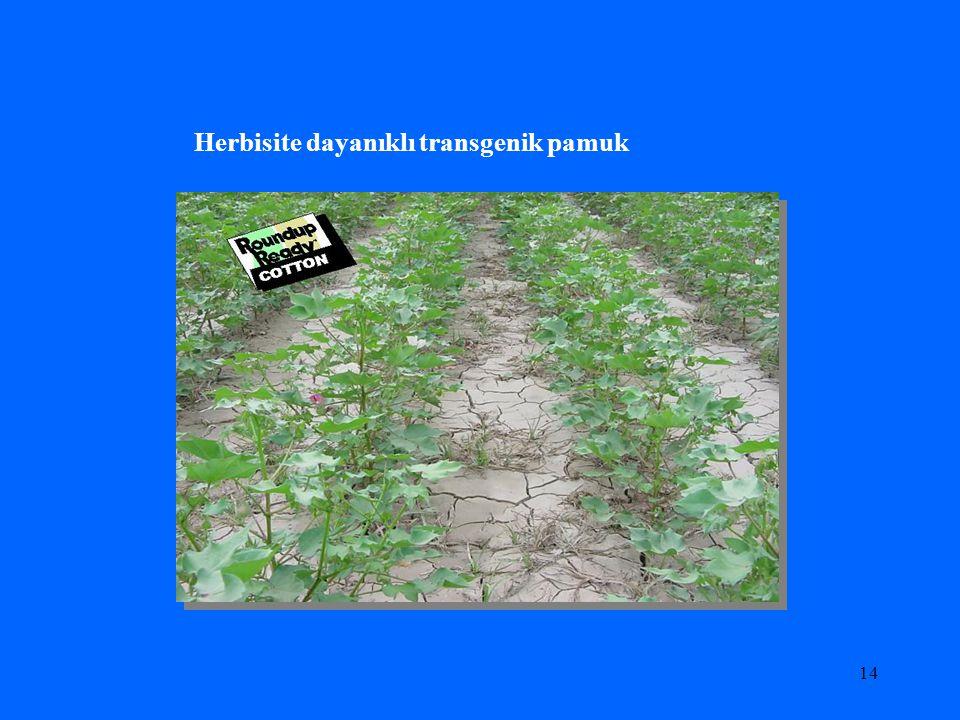 Herbisite dayanıklı transgenik pamuk