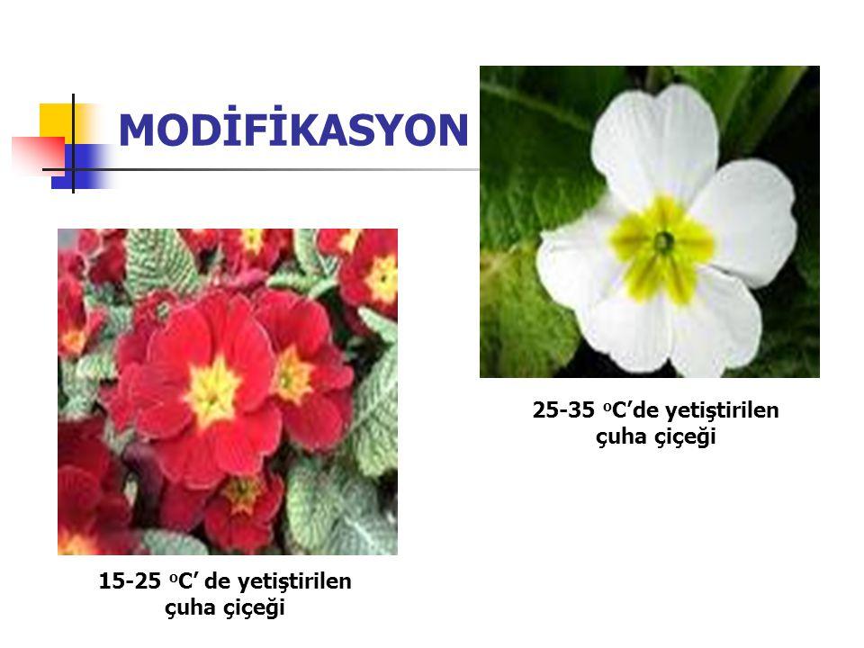 MODİFİKASYON 25-35 oC'de yetiştirilen çuha çiçeği