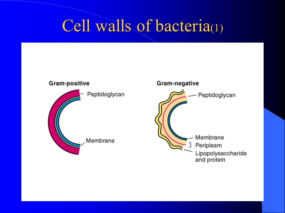 Cell walls of bacteria(1)