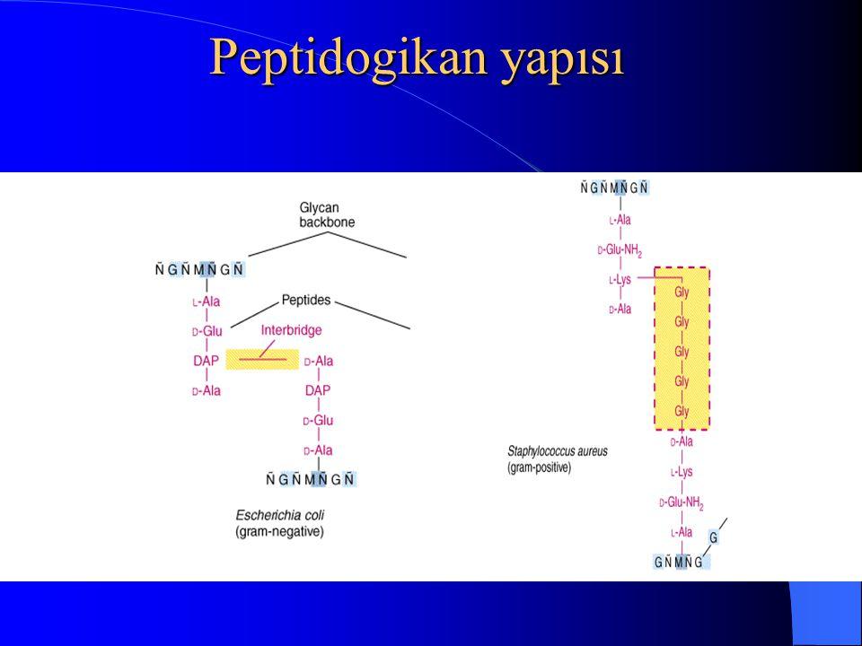 Peptidogikan yapısı