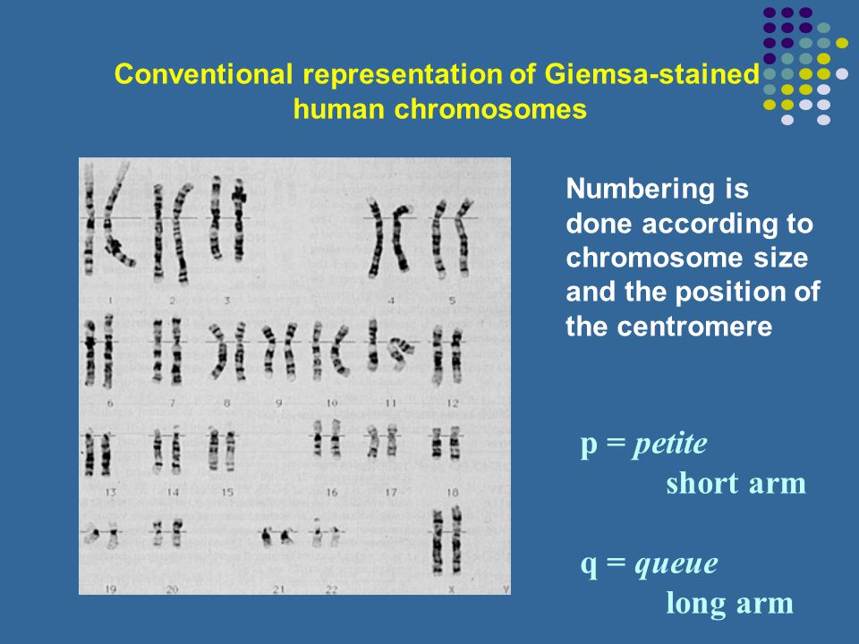 Conventional representation of Giemsa-stained