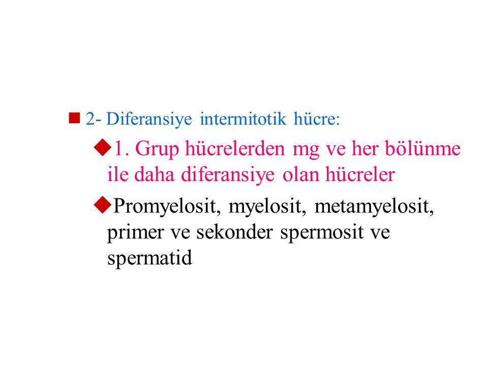 2- Diferansiye intermitotik hücre: