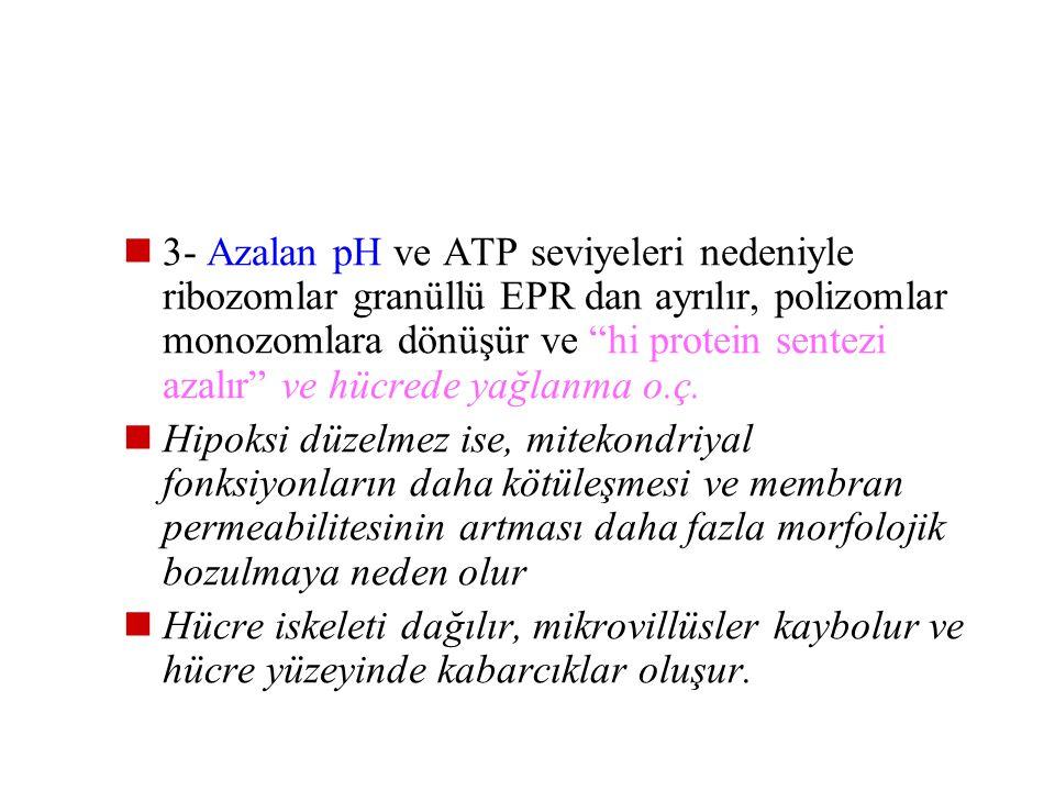 3- Azalan pH ve ATP seviyeleri nedeniyle ribozomlar granüllü EPR dan ayrılır, polizomlar monozomlara dönüşür ve hi protein sentezi azalır ve hücrede yağlanma o.ç.
