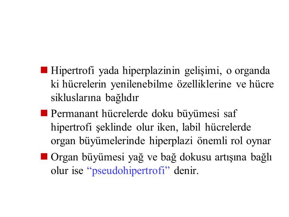Hipertrofi yada hiperplazinin gelişimi, o organda ki hücrelerin yenilenebilme özelliklerine ve hücre sikluslarına bağlıdır