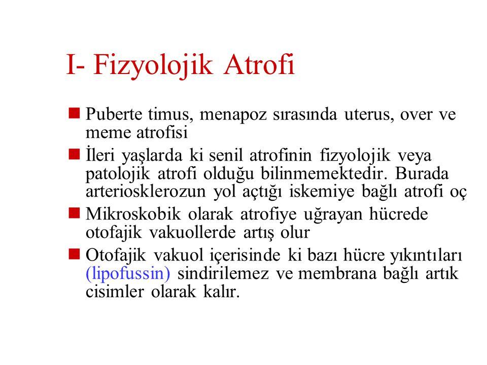 I- Fizyolojik Atrofi Puberte timus, menapoz sırasında uterus, over ve meme atrofisi.