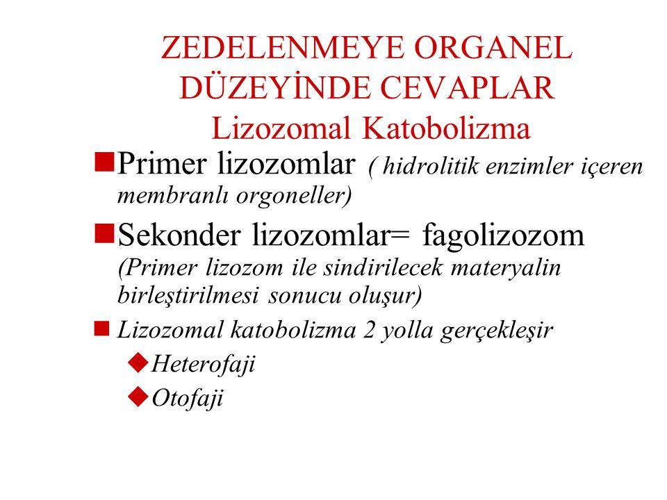 ZEDELENMEYE ORGANEL DÜZEYİNDE CEVAPLAR Lizozomal Katobolizma