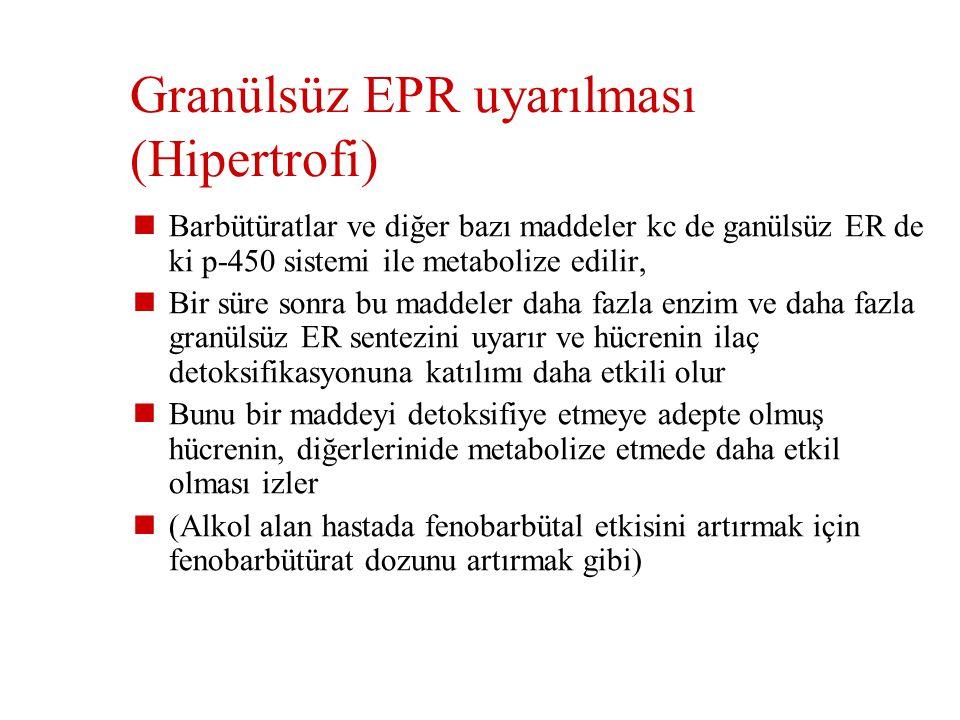 Granülsüz EPR uyarılması (Hipertrofi)