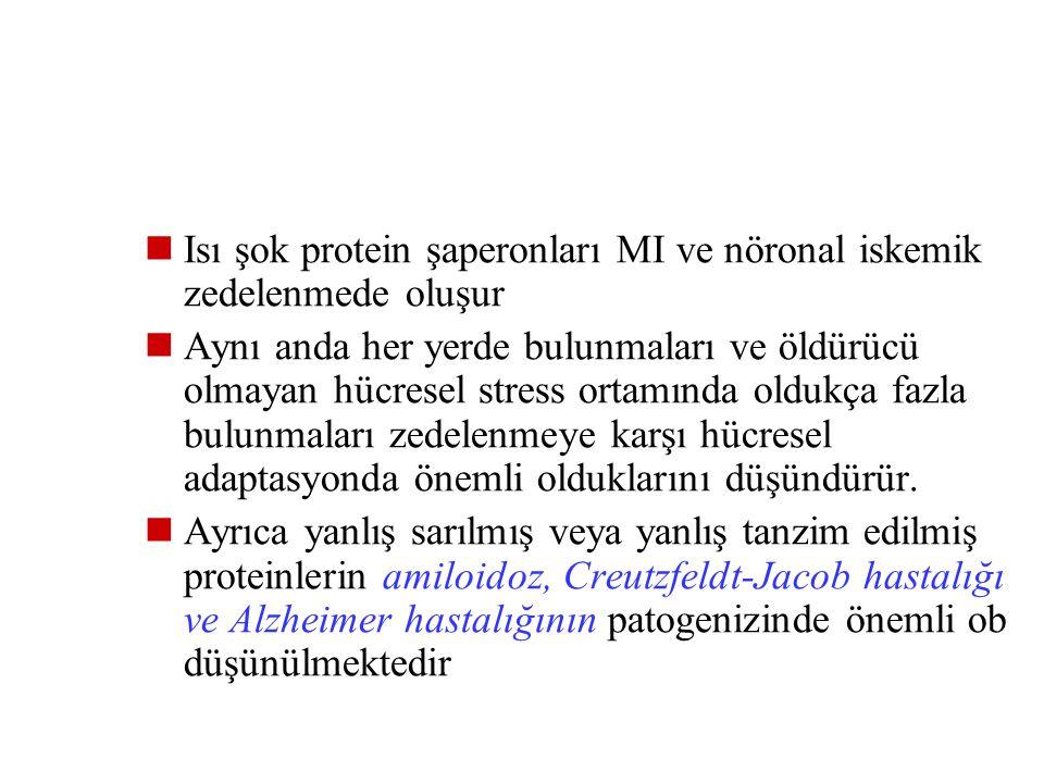 Isı şok protein şaperonları MI ve nöronal iskemik zedelenmede oluşur