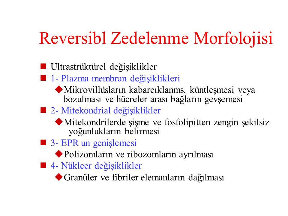 Reversibl Zedelenme Morfolojisi