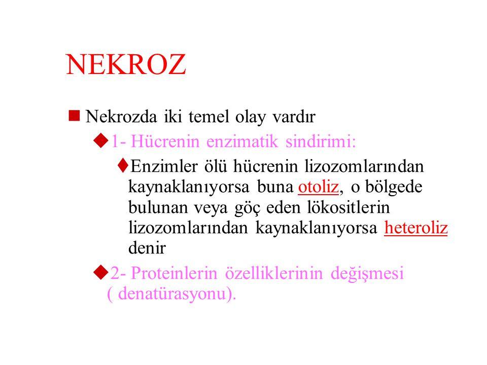 NEKROZ Nekrozda iki temel olay vardır 1- Hücrenin enzimatik sindirimi:
