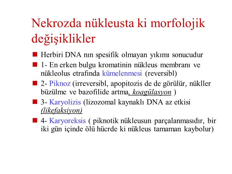 Nekrozda nükleusta ki morfolojik değişiklikler
