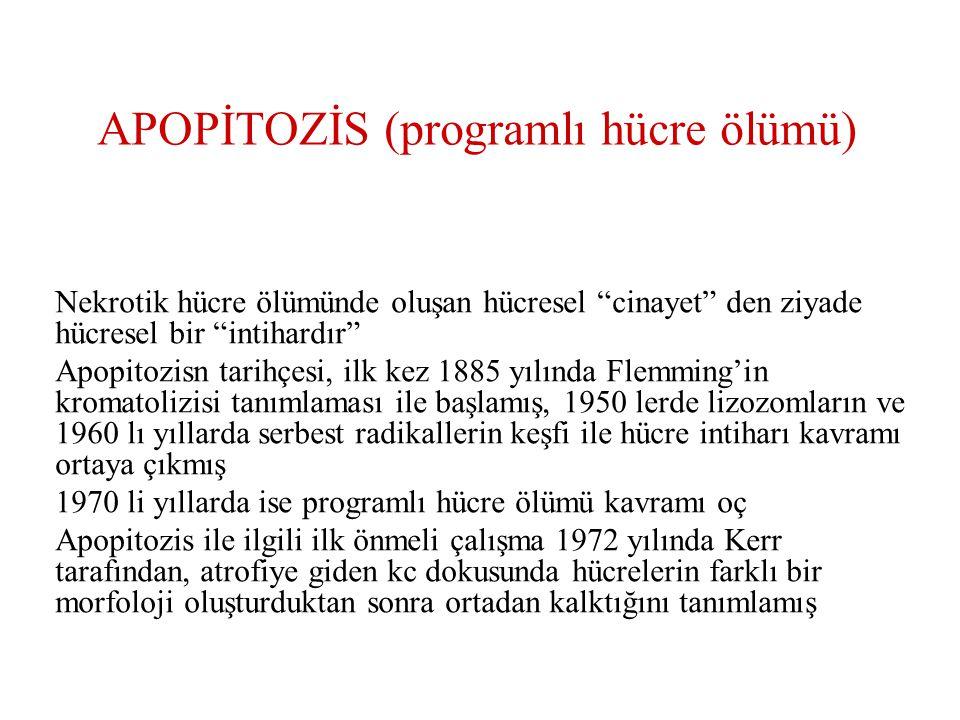 APOPİTOZİS (programlı hücre ölümü)