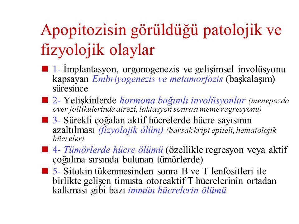 Apopitozisin görüldüğü patolojik ve fizyolojik olaylar
