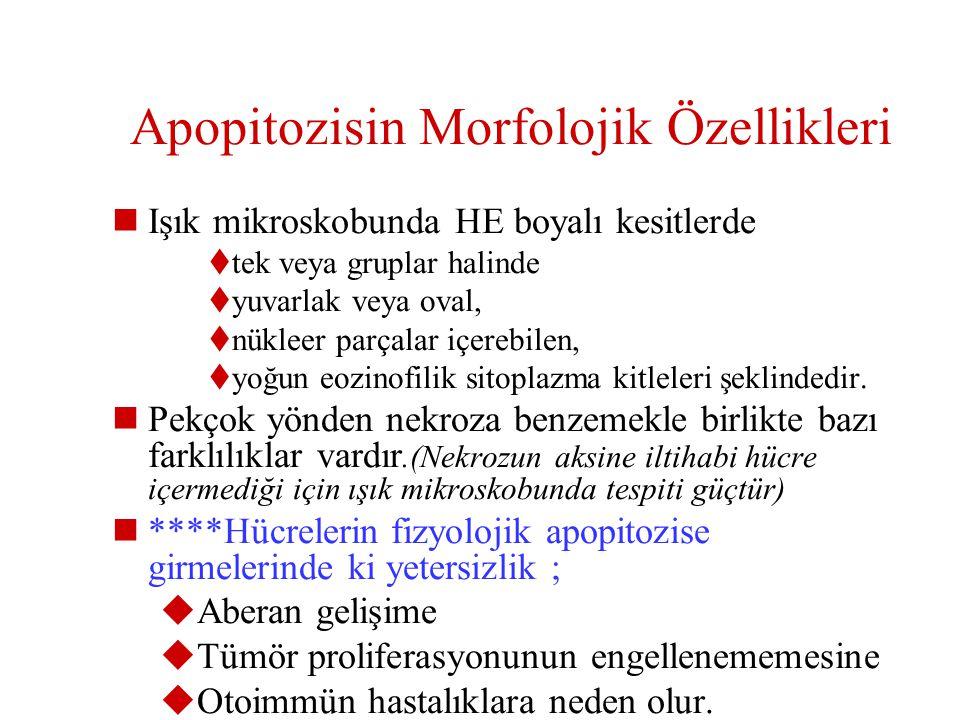 Apopitozisin Morfolojik Özellikleri