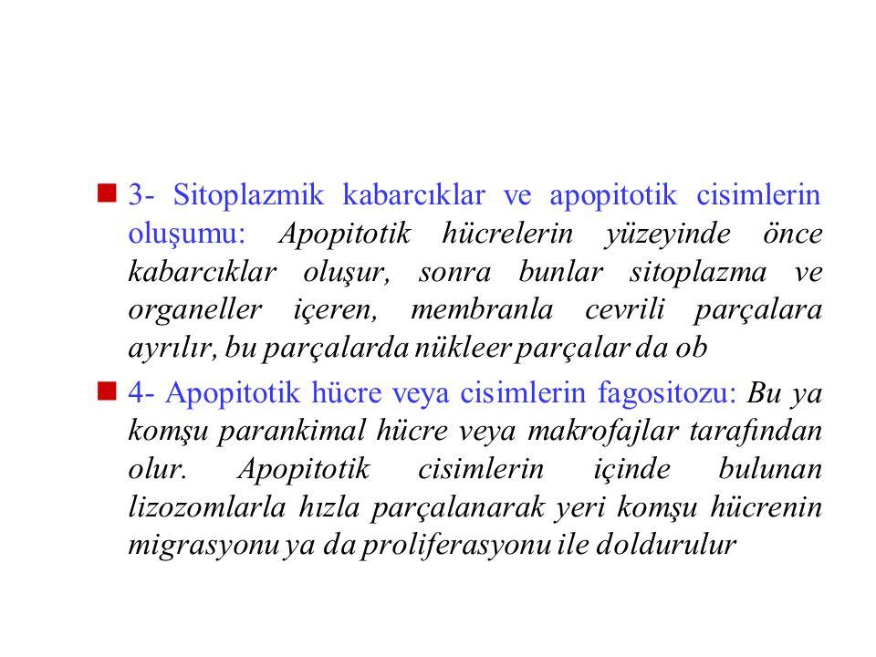 3- Sitoplazmik kabarcıklar ve apopitotik cisimlerin oluşumu: Apopitotik hücrelerin yüzeyinde önce kabarcıklar oluşur, sonra bunlar sitoplazma ve organeller içeren, membranla cevrili parçalara ayrılır, bu parçalarda nükleer parçalar da ob