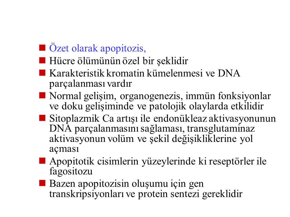 Özet olarak apopitozis,