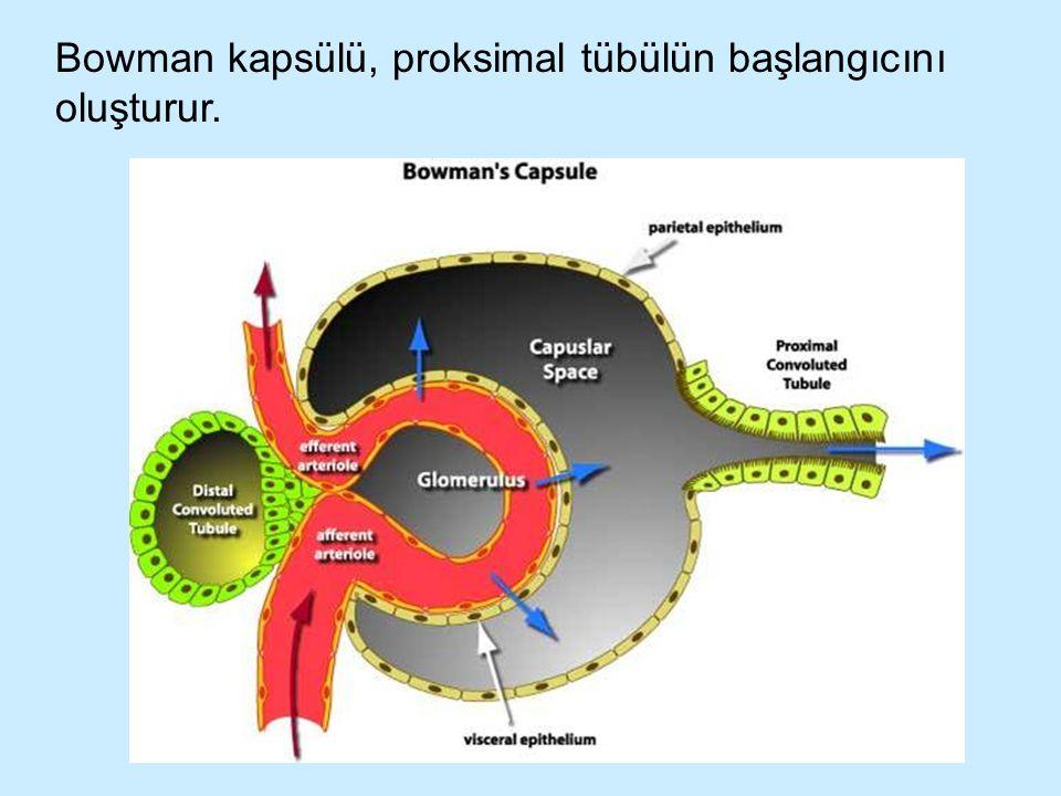 Bowman kapsülü, proksimal tübülün başlangıcını oluşturur.