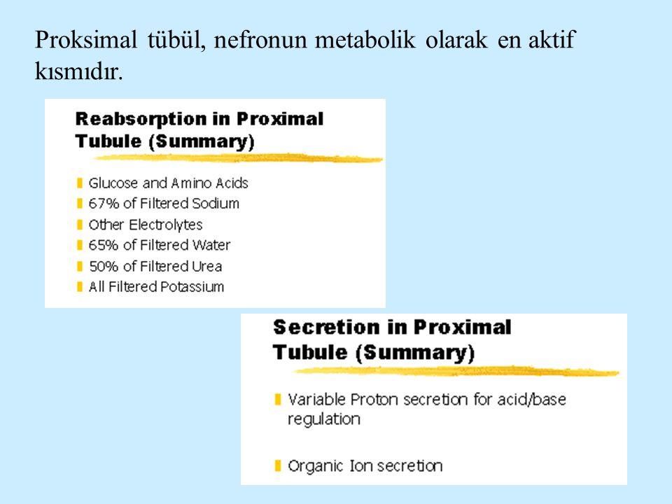 Proksimal tübül, nefronun metabolik olarak en aktif kısmıdır.
