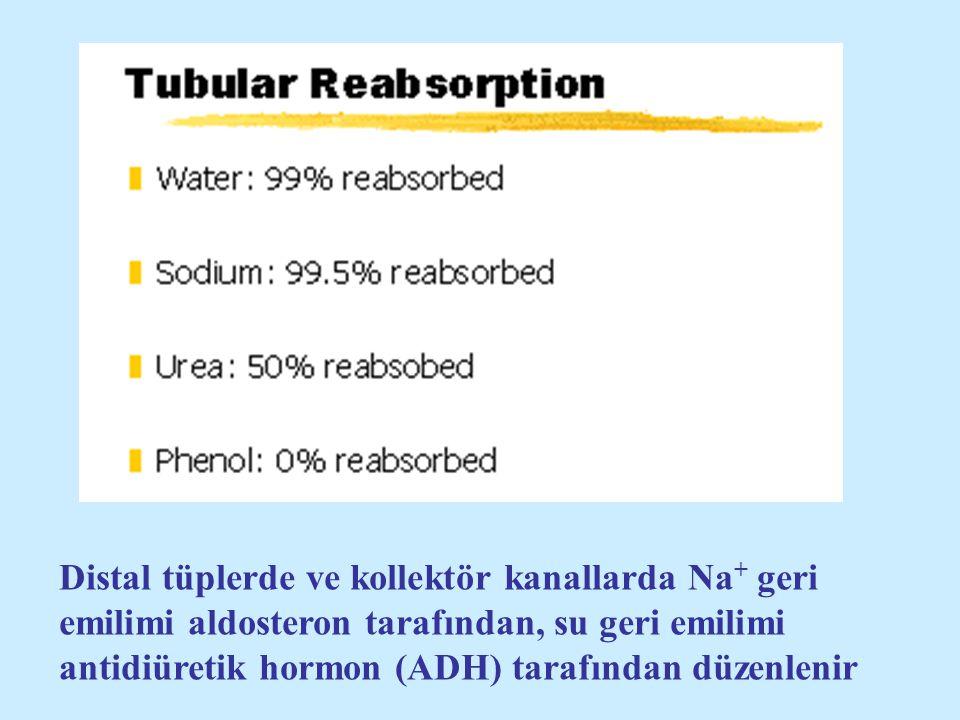 Distal tüplerde ve kollektör kanallarda Na+ geri emilimi aldosteron tarafından, su geri emilimi antidiüretik hormon (ADH) tarafından düzenlenir