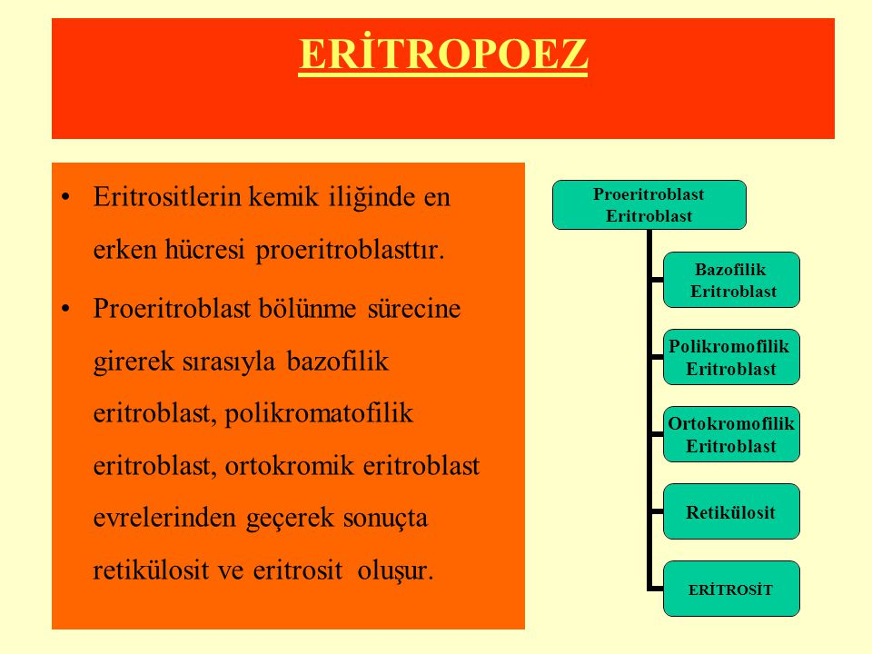 ERİTROPOEZ Eritrositlerin kemik iliğinde en erken hücresi proeritroblasttır.