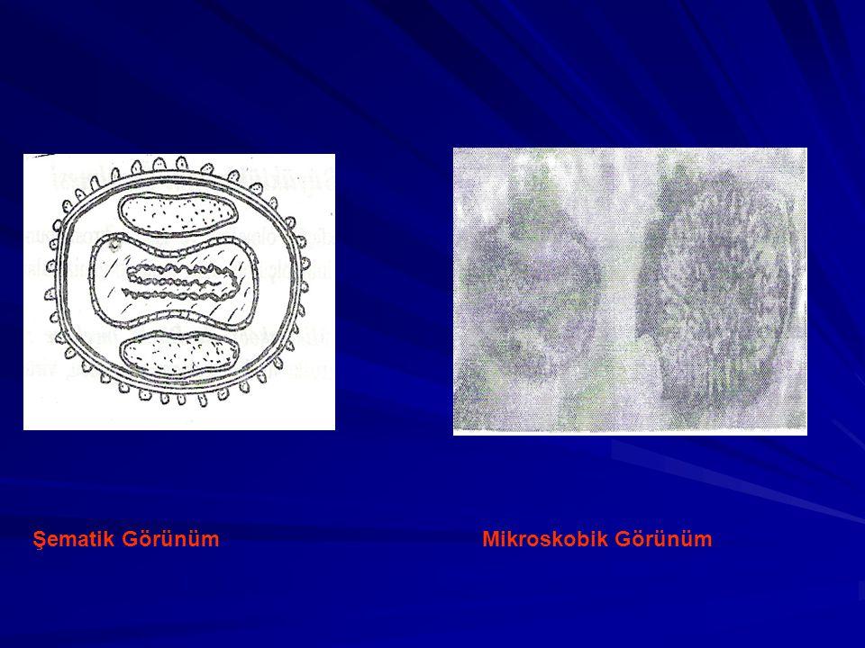 Şematik Görünüm Mikroskobik Görünüm