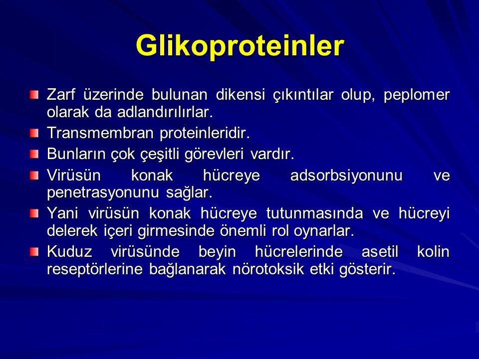 Glikoproteinler Zarf üzerinde bulunan dikensi çıkıntılar olup, peplomer olarak da adlandırılırlar. Transmembran proteinleridir.