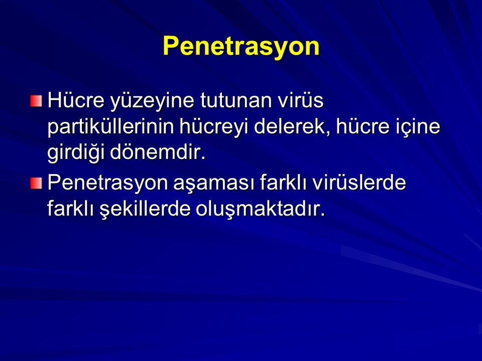 Penetrasyon Hücre yüzeyine tutunan virüs partiküllerinin hücreyi delerek, hücre içine girdiği dönemdir.
