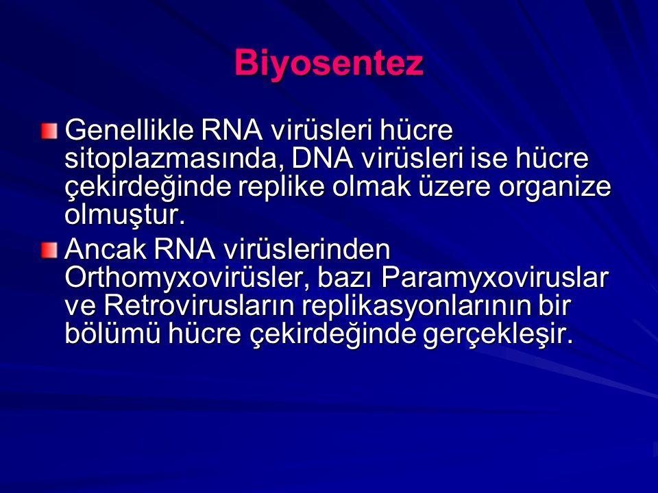Biyosentez Genellikle RNA virüsleri hücre sitoplazmasında, DNA virüsleri ise hücre çekirdeğinde replike olmak üzere organize olmuştur.