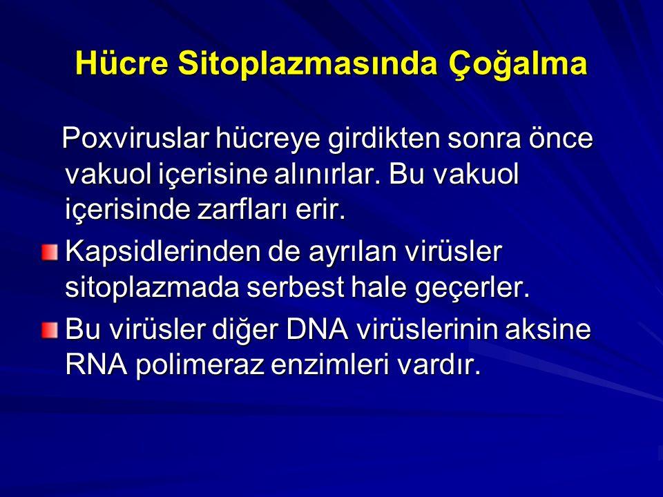 Hücre Sitoplazmasında Çoğalma
