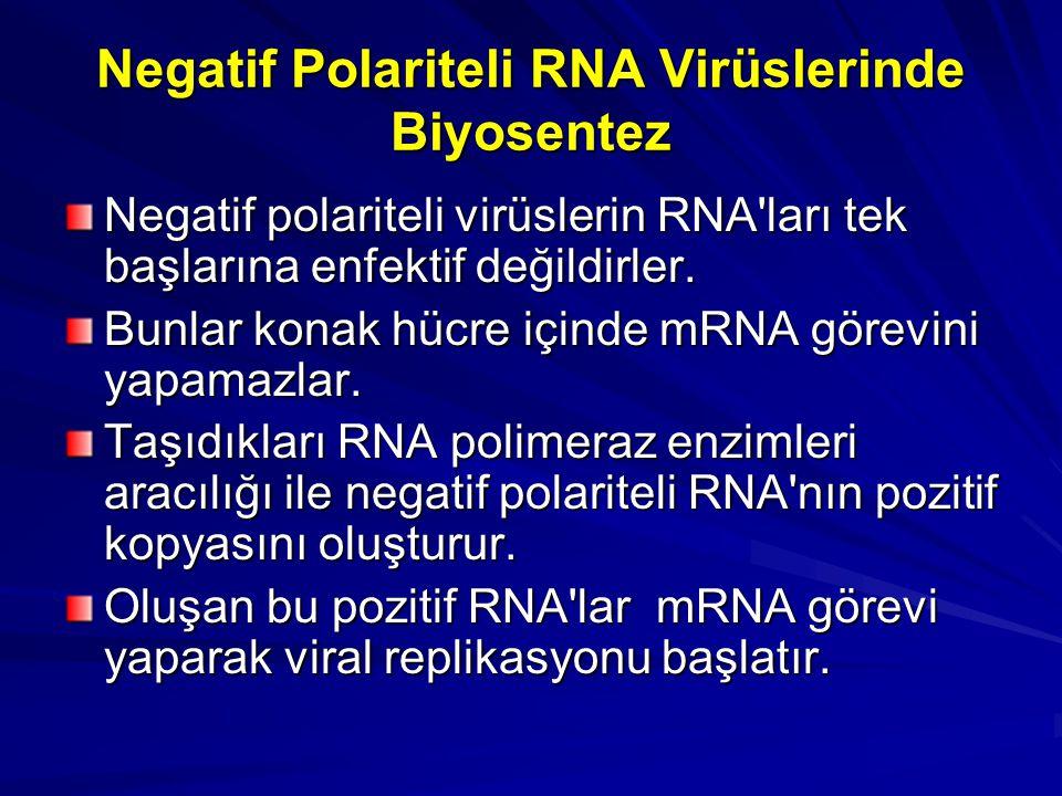 Negatif Polariteli RNA Virüslerinde Biyosentez