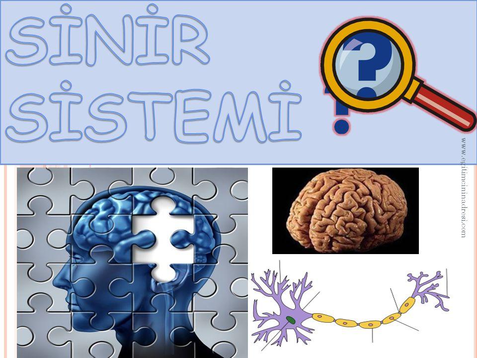 SİNİR SİSTEMİ www.egitimcininadresi.com