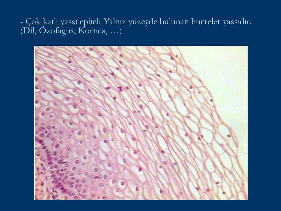 - Çok katlı yassı epitel: Yalnız yüzeyde bulunan hücreler yassıdır