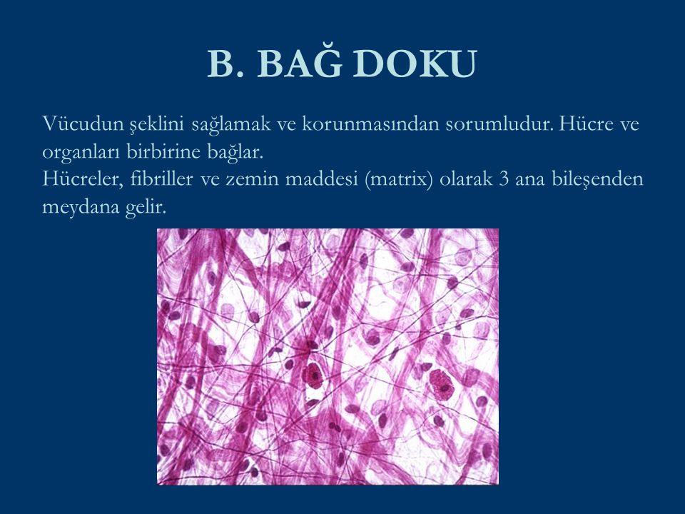 B. BAĞ DOKU Vücudun şeklini sağlamak ve korunmasından sorumludur. Hücre ve organları birbirine bağlar.