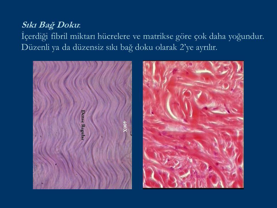 Sıkı Bağ Doku: İçerdiği fibril miktarı hücrelere ve matrikse göre çok daha yoğundur.