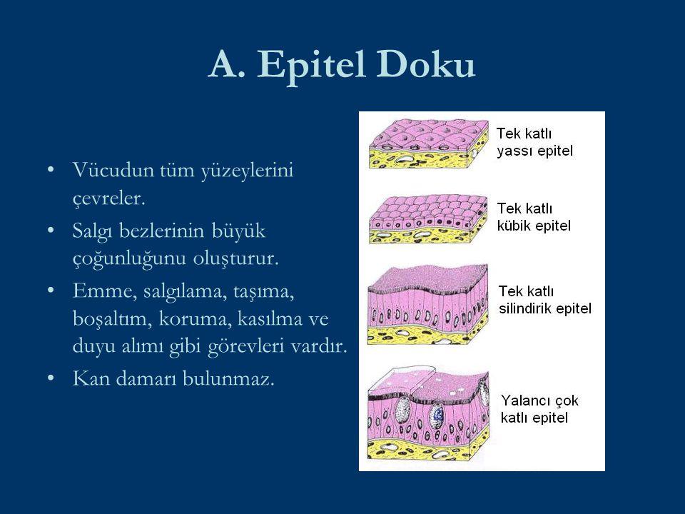 A. Epitel Doku Vücudun tüm yüzeylerini çevreler.