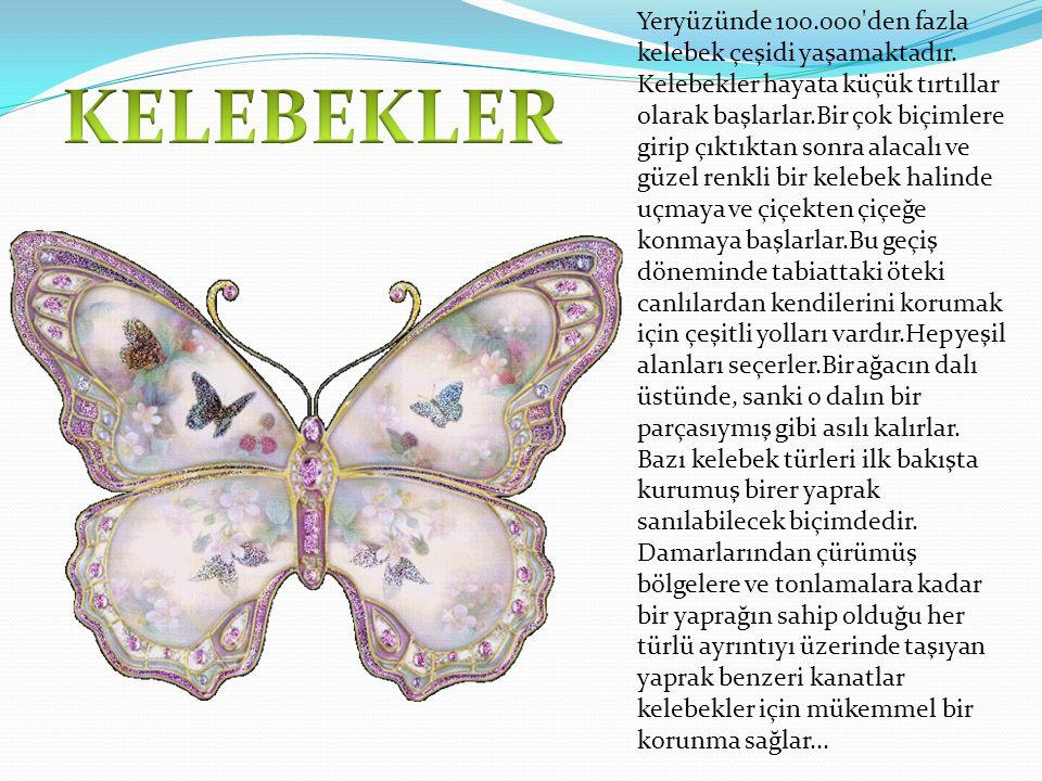 Yeryüzünde 100. 000 den fazla kelebek çeşidi yaşamaktadır