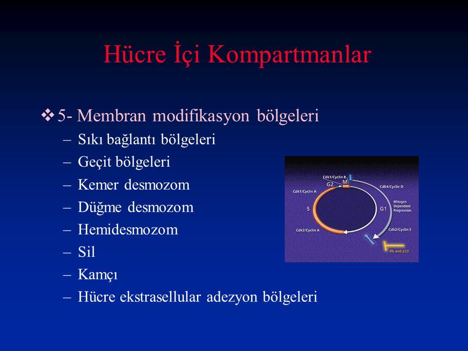 Hücre İçi Kompartmanlar
