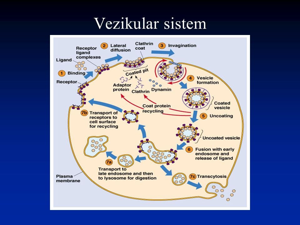 Vezikular sistem
