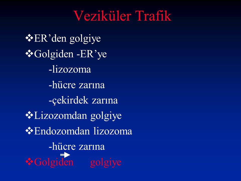 Veziküler Trafik ER'den golgiye Golgiden -ER'ye -lizozoma