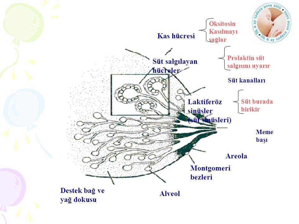 Süt salgılayan hücreler