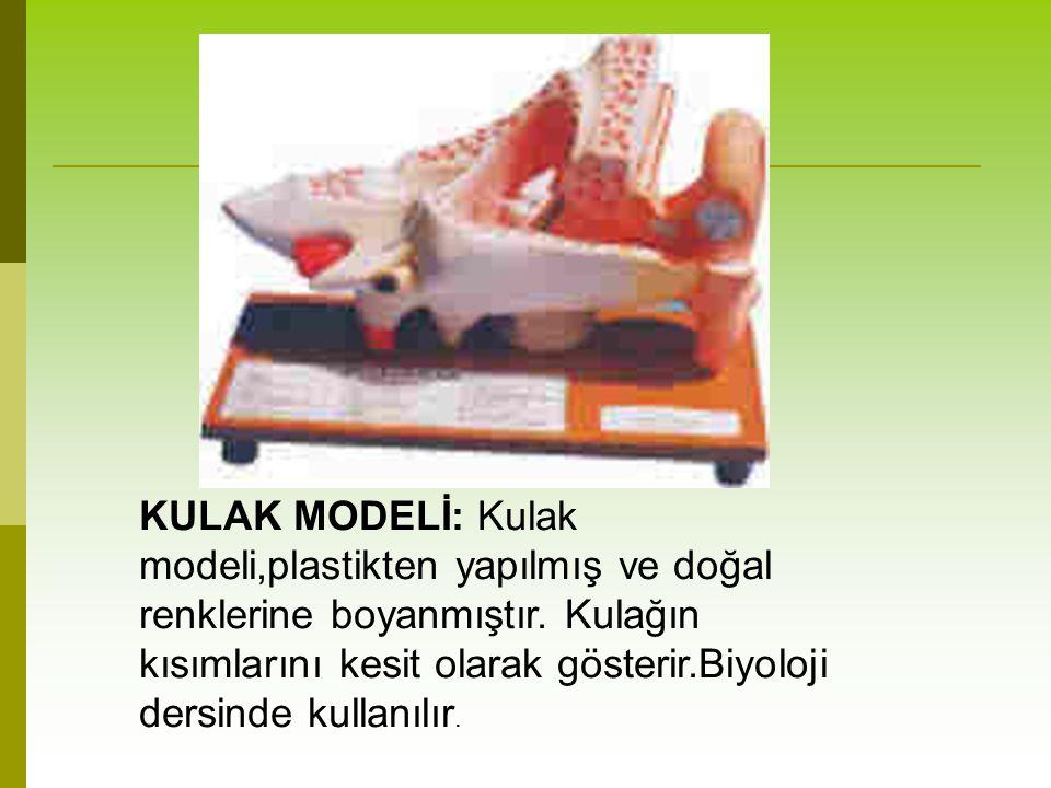 KULAK MODELİ: Kulak modeli,plastikten yapılmış ve doğal renklerine boyanmıştır.