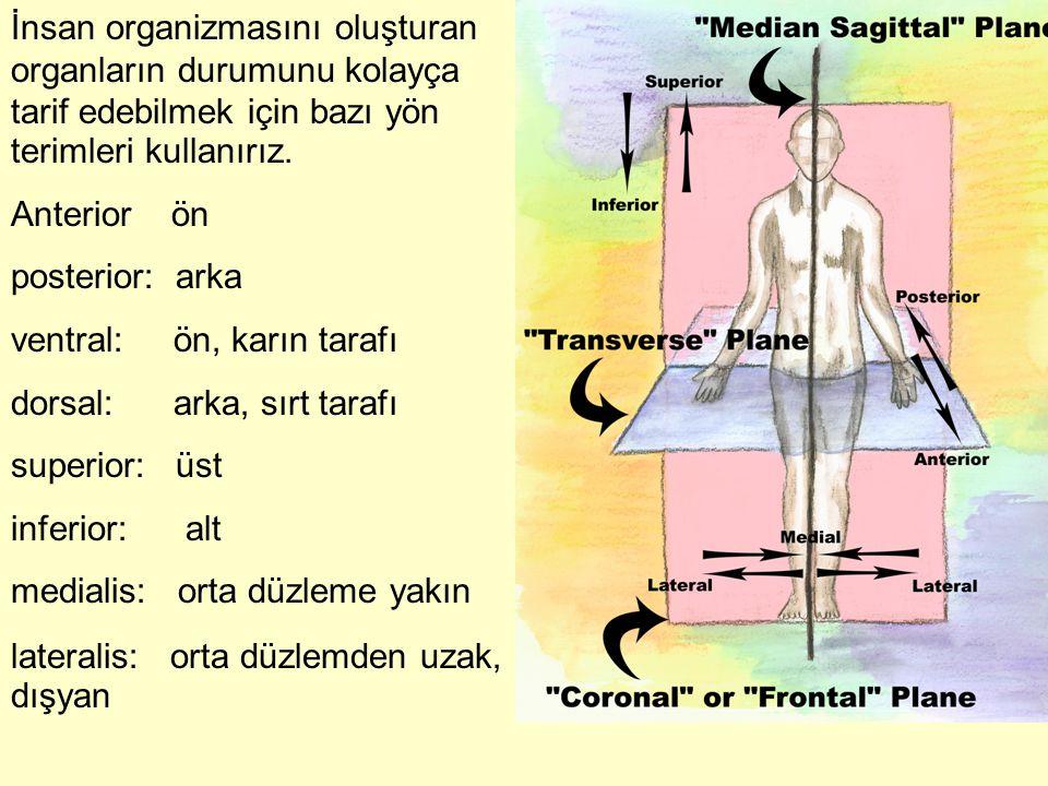 İnsan organizmasını oluşturan organların durumunu kolayça tarif edebilmek için bazı yön terimleri kullanırız.