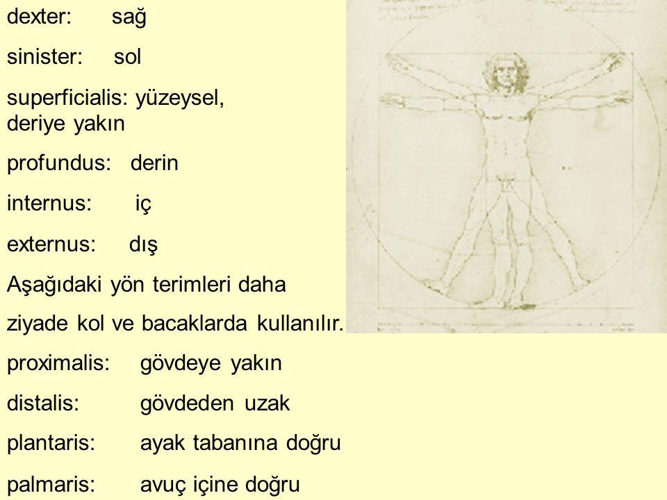 dexter: sağ sinister: sol. superficialis: yüzeysel, deriye yakın. profundus: derin. internus: iç.