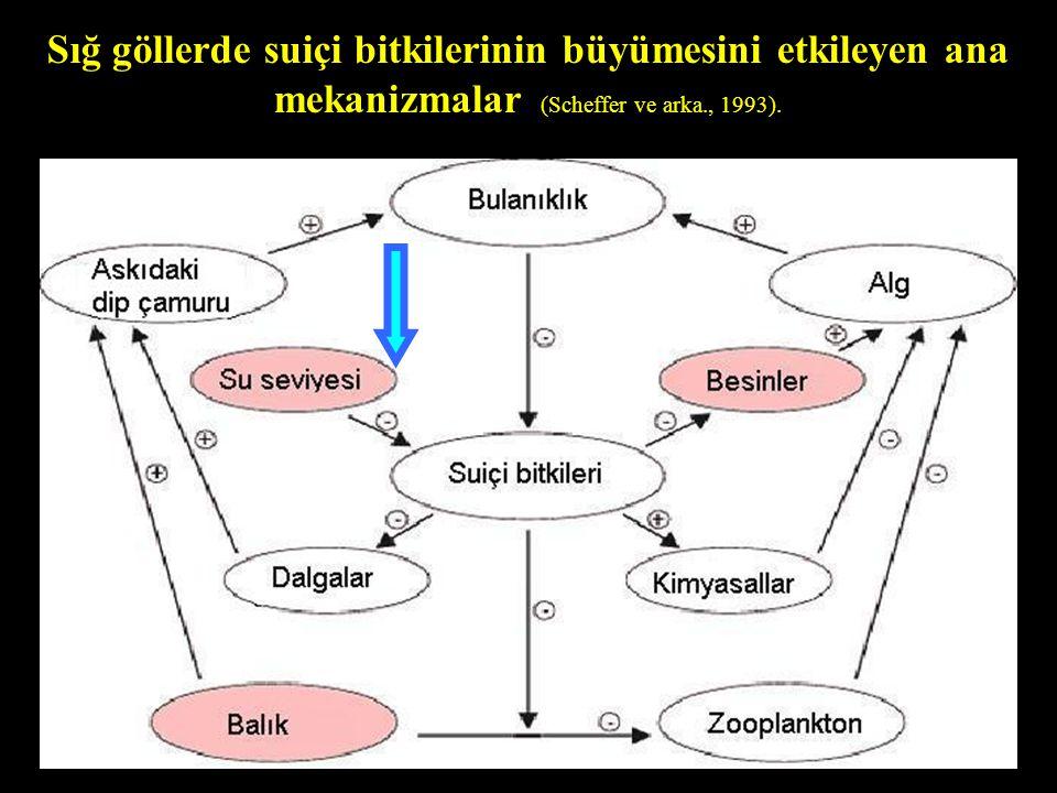 Sığ göllerde suiçi bitkilerinin büyümesini etkileyen ana mekanizmalar (Scheffer ve arka., 1993).