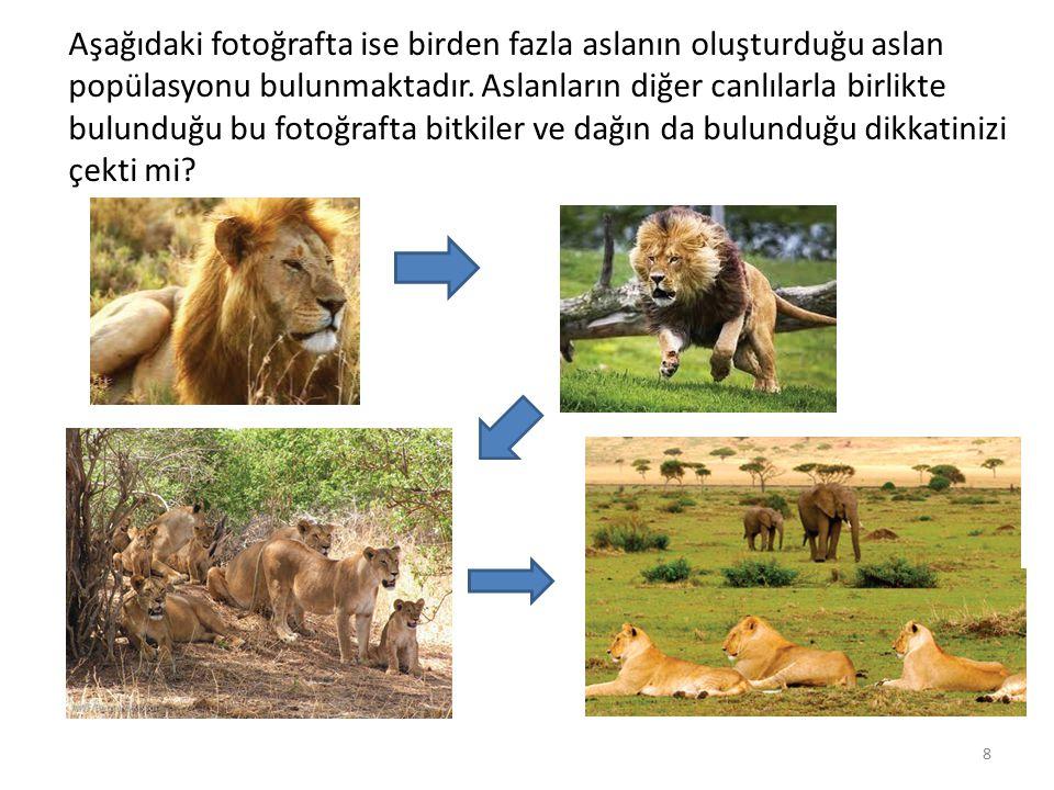 Aşağıdaki fotoğrafta ise birden fazla aslanın oluşturduğu aslan popülasyonu bulunmaktadır.